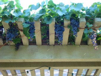 grapes - growing on arbor