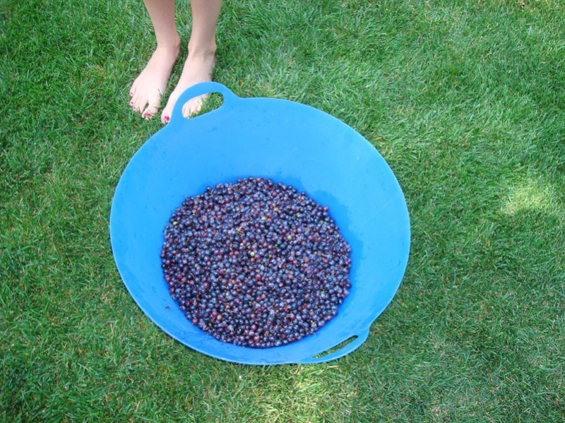 grapes-stomp 1