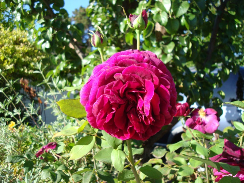 Rose 'The Prince'