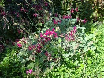 cranesbill geranium