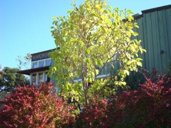 Magnolia with Berberis