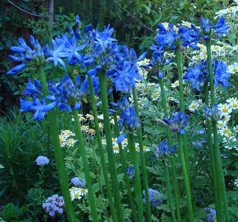 Blue Moon Agapanthus