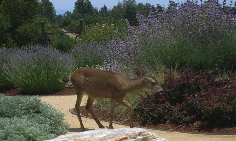 Zarcone Deer Photo