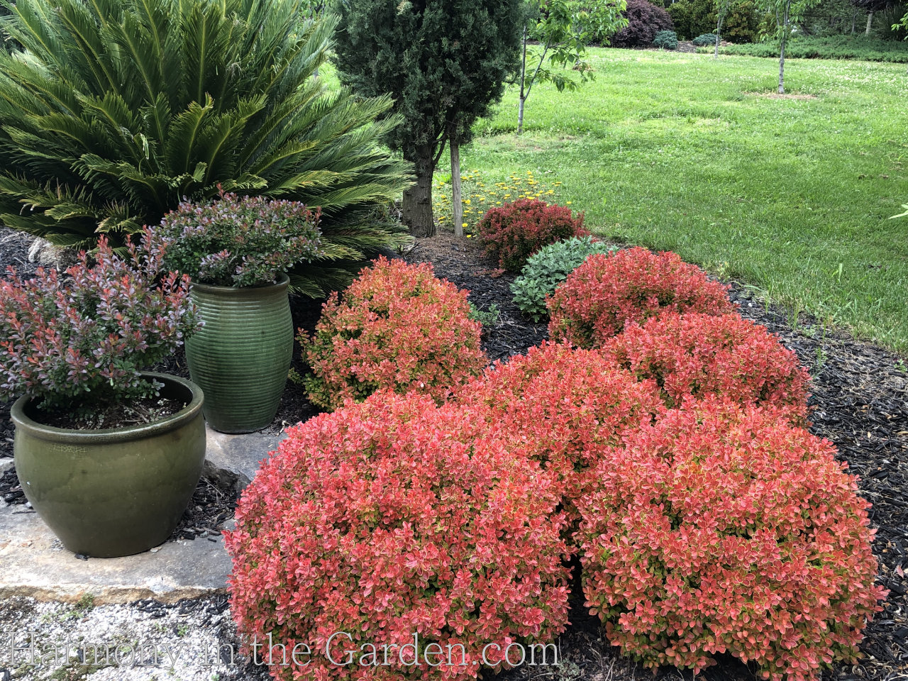 Golden Ruby berberis