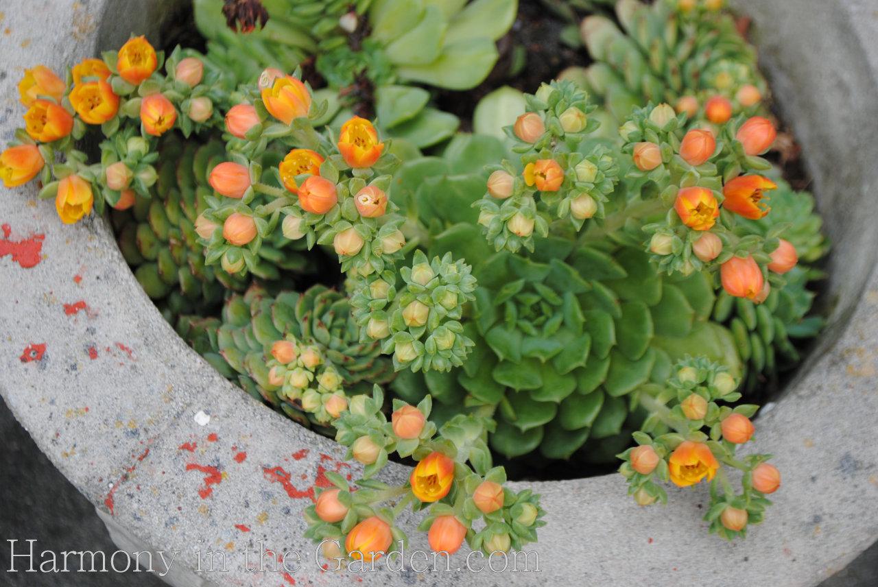 orange-flowered succulents