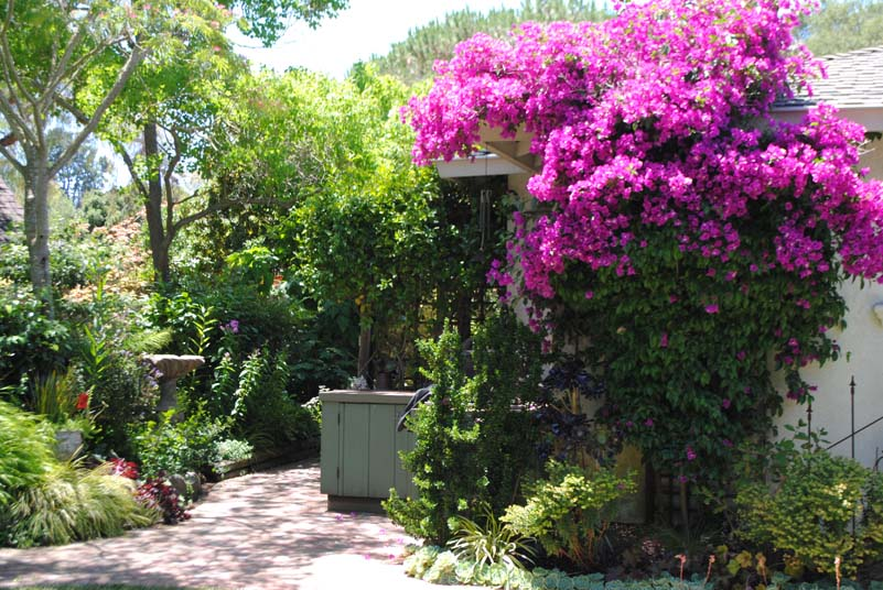 Bougainvillea Trellis Ideas Part - 36: Bougainvilleas Are Perfect For Scrambling Up A Trellis, Seductively Draping  Over Rooftops, Fences And Any Other Structure That Could Use A Little  Softening.