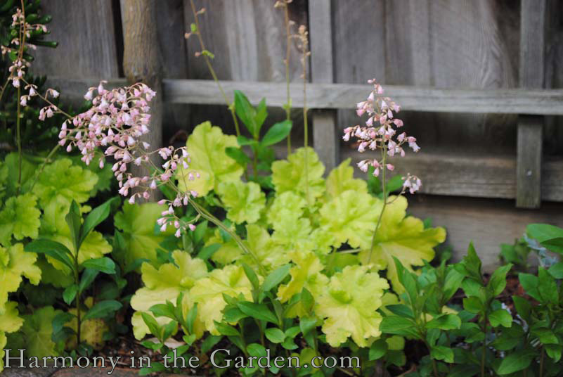 'Lime Rickey' heuchera copy