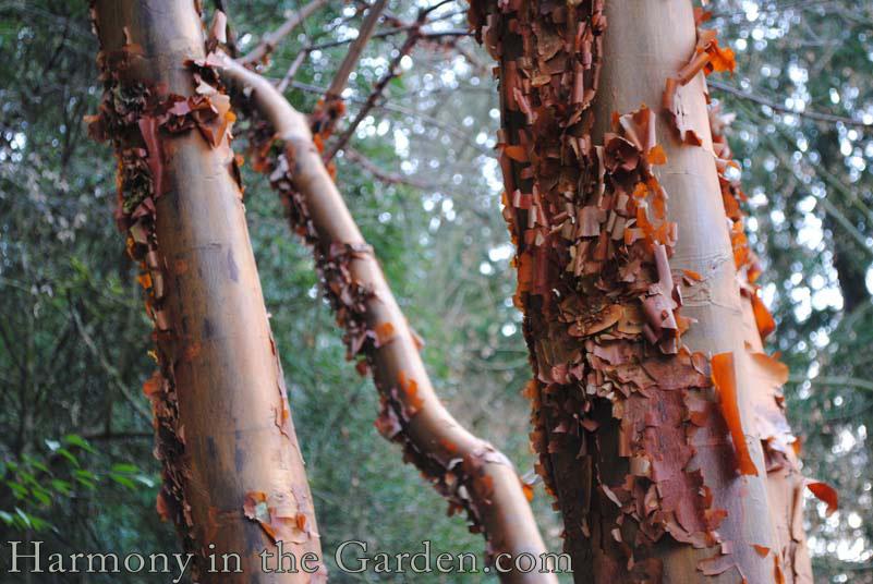 Acer griseum (Paperbark Maple)