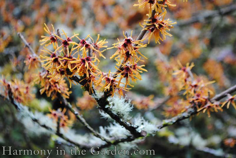 Hamamelis intermeda in a winter garden