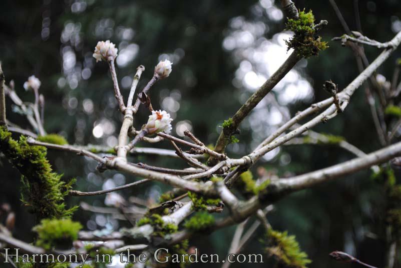 Viburnum foetens