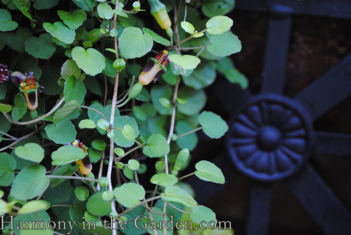 "Fuchsia procumbens ""Creeping Fuchsia"""