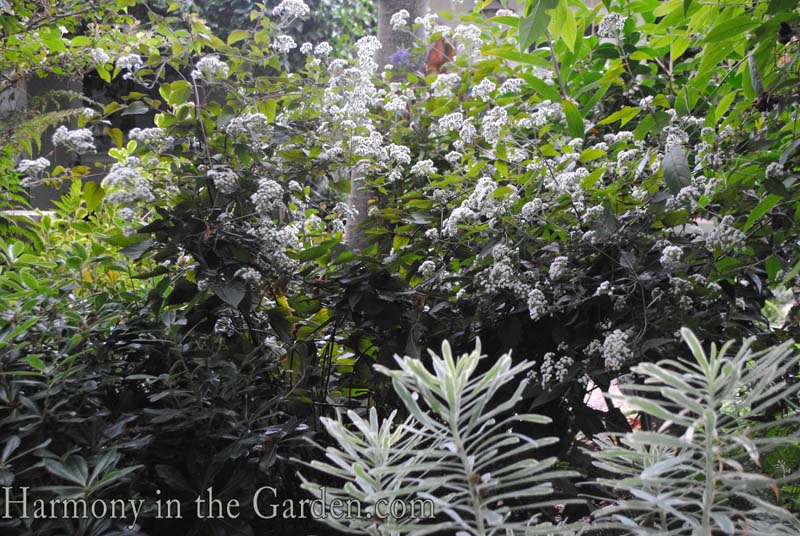 Eupatorium rugosum 'Chocolate' copy