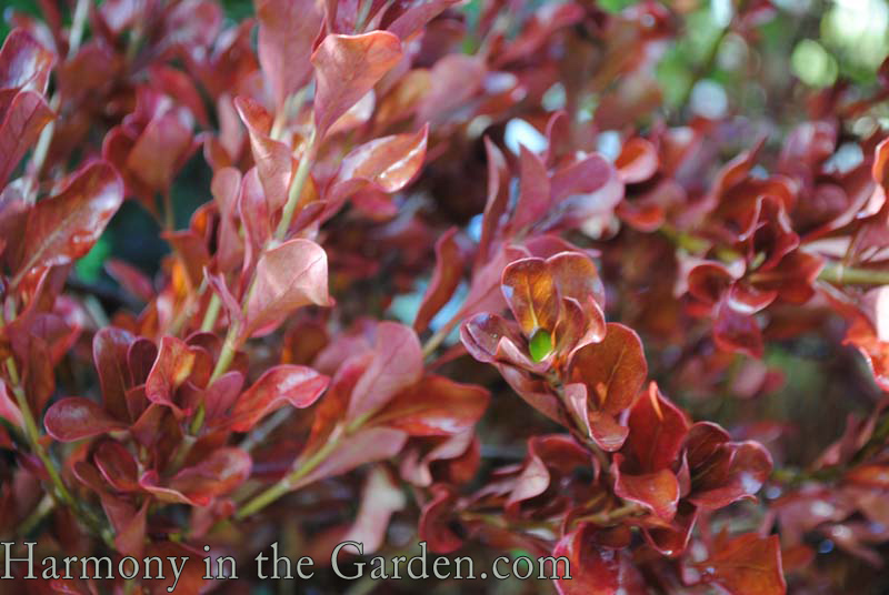 Coprosma 'County Park Red'-winter