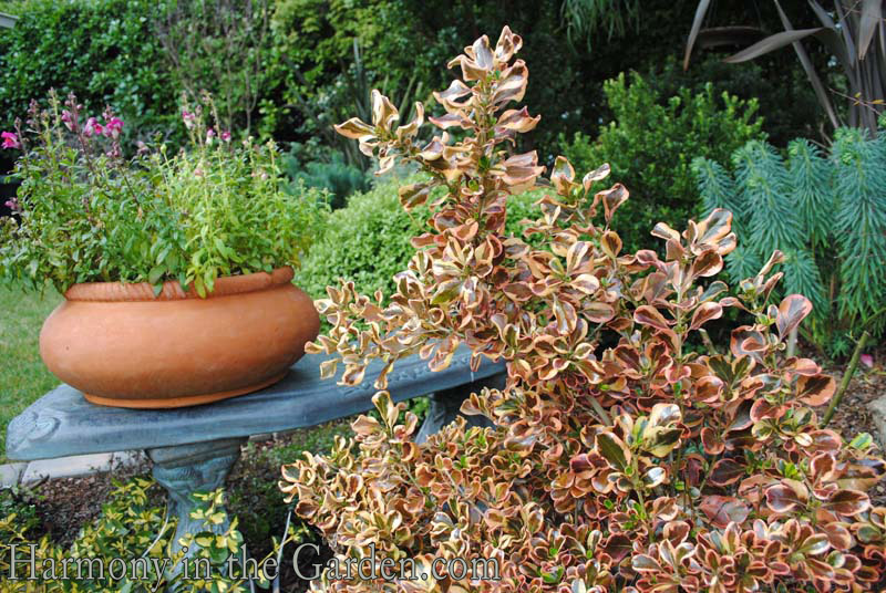 Coprosma 'Pink Splendor' and pot