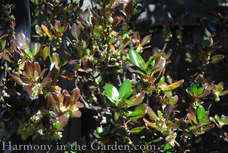 Coprosma 'Roys Red' winter foliage