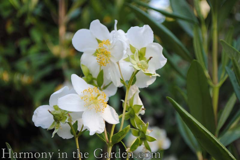 Carpenteria californica (Bush Anemone)
