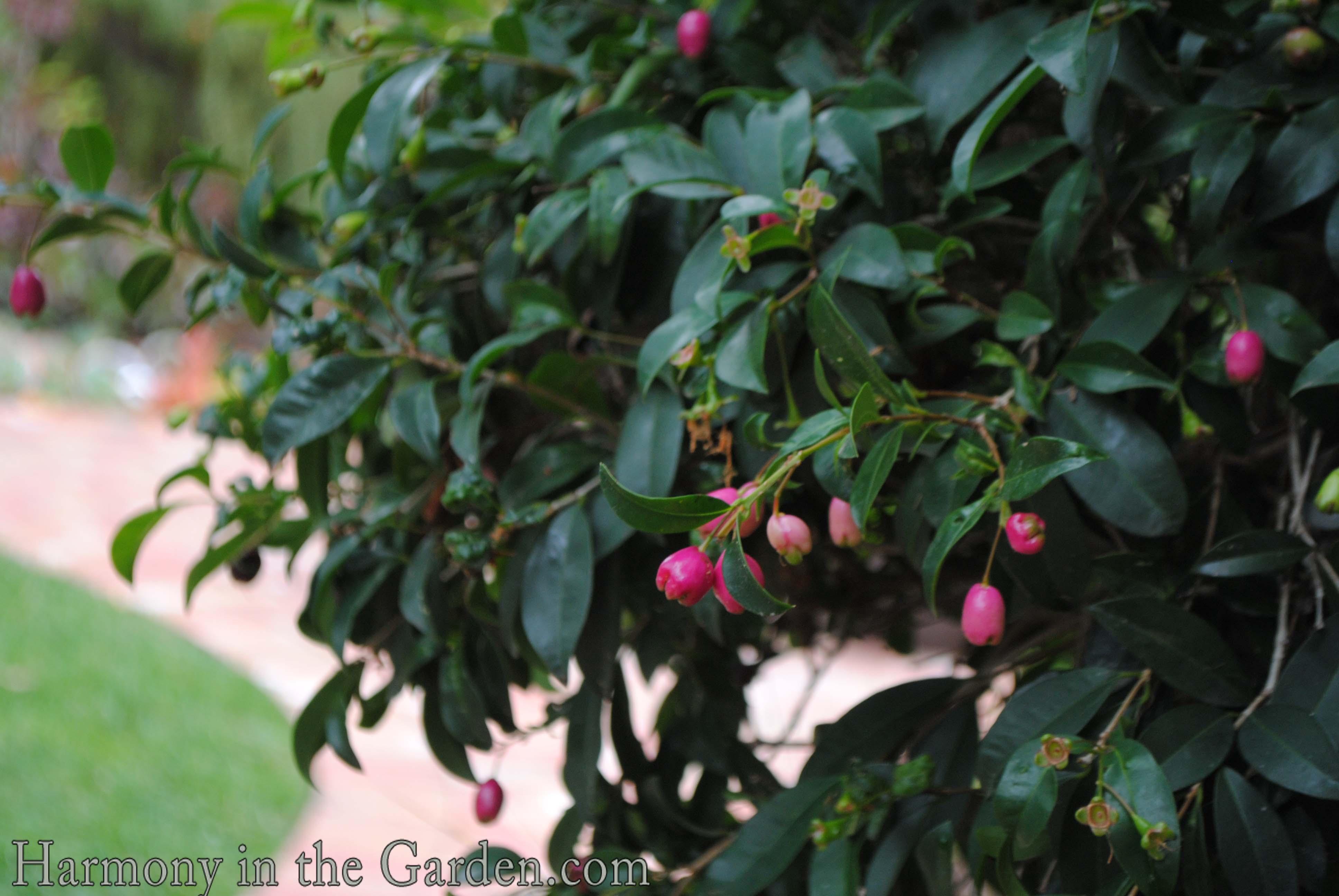 Brush Cherry (Syzygium Paniculatum)