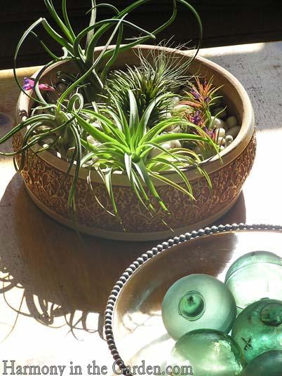 air plants tillandsias