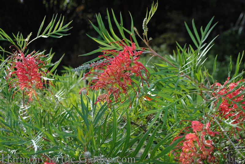 Grevillea 'Superb' flower