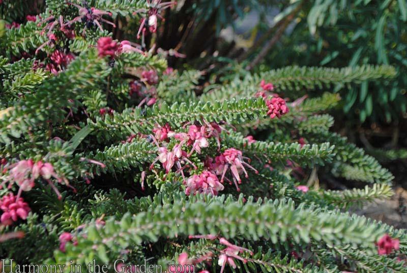 Grevillia 'Mt. Tamboritha' flower