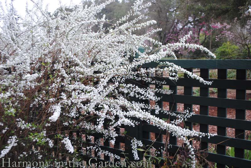'Bridal Wreath' spirea
