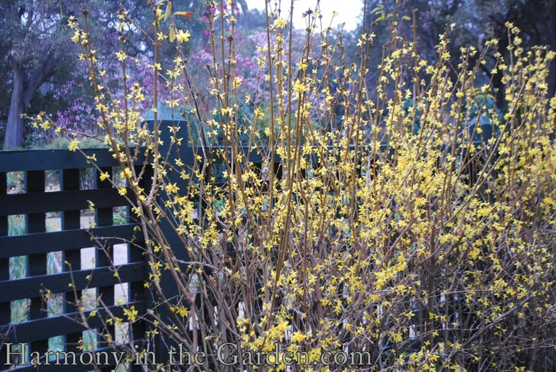 Forsythia 'Spring Glory' copy