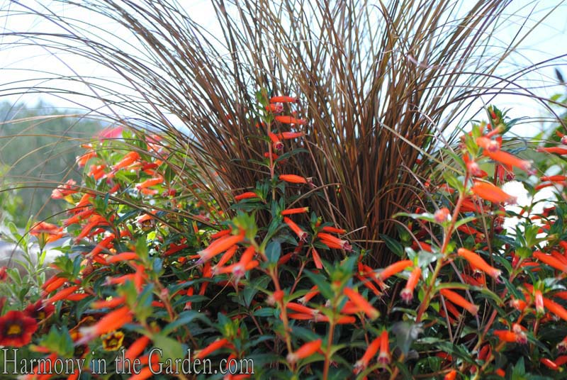 Carex 'Toffee Twist' and Cuphea 'Vermmillionaire'