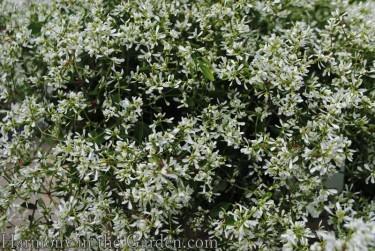 Euphorbia 'Diamond Delight'