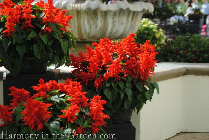 Salvia splendens 'Ablazin Tabasco'