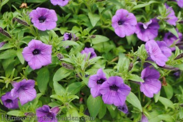 Supertunia Indigo Charm Improved