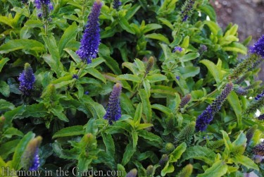 Veronica 'Enchanted Indigo'