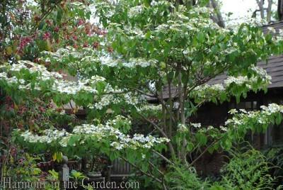 Viburnum tomentosa