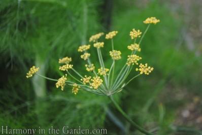 Anise flower