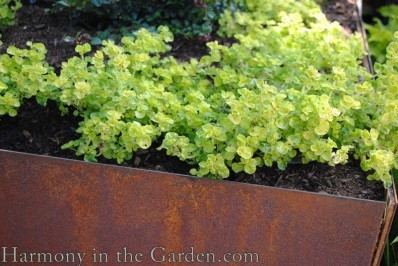 golden oregano