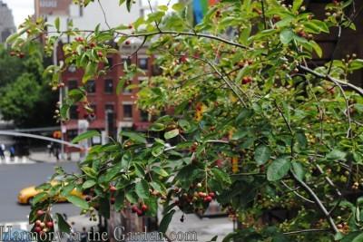 amelanchier laevis berries