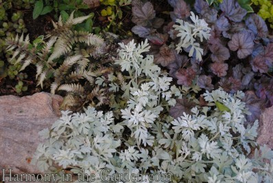Artemesia 'Silver Brocade' and Japanese Painted Fern