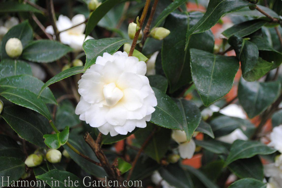 Camellia s. 'Buttermint'