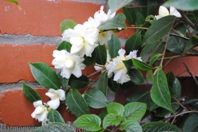 Camellia 'Buttermint'