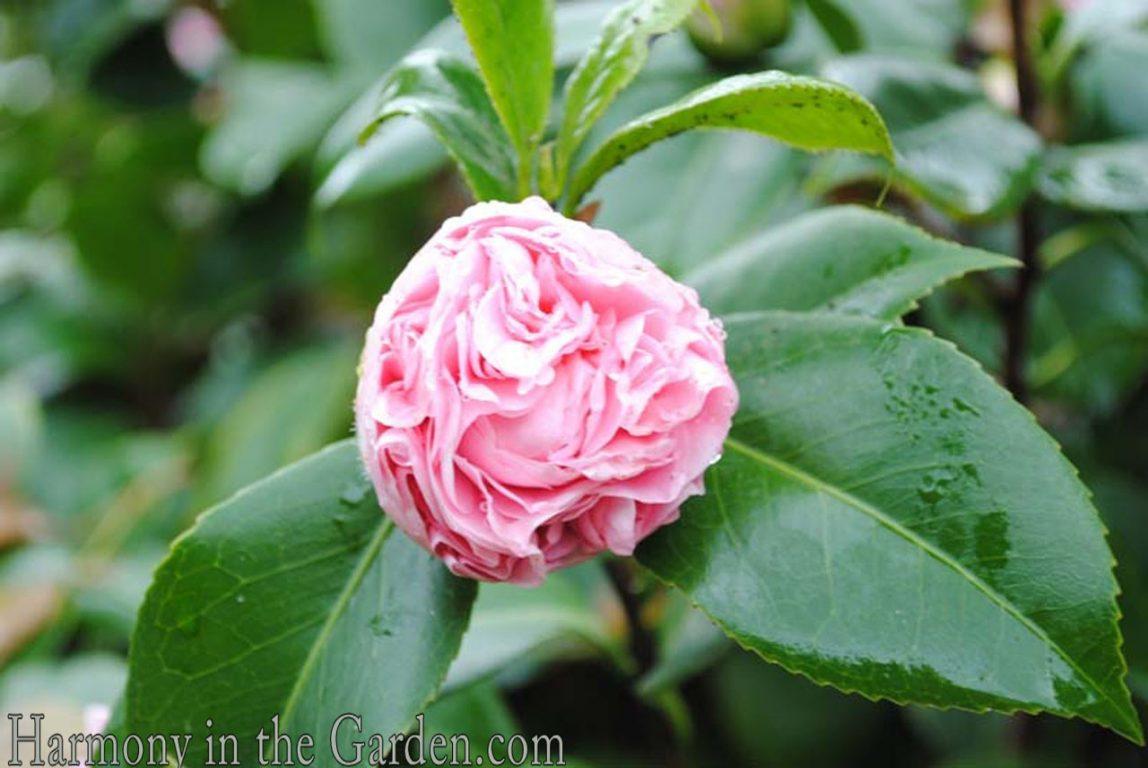 Camellia 'Debutante' bud