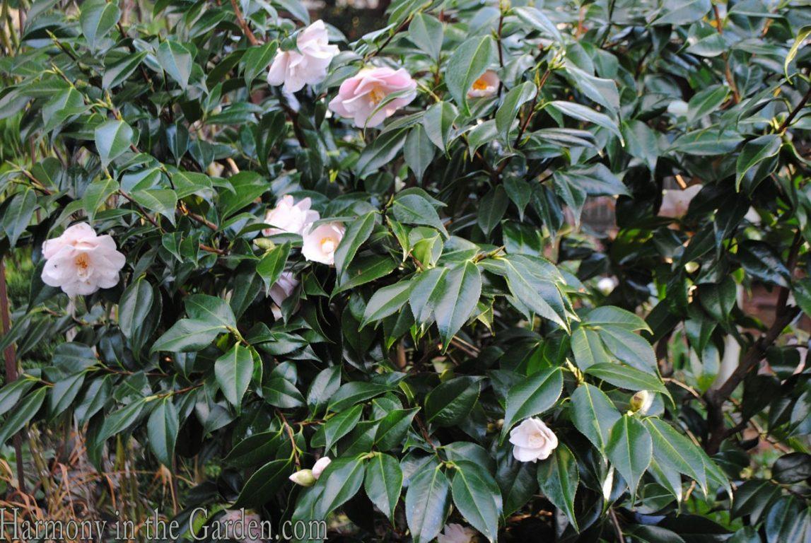 Camellia 'Magnoliafolia'