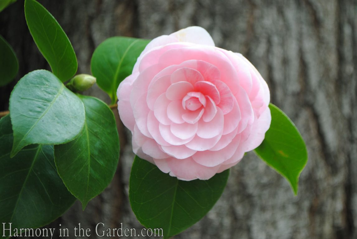 Camellia 'Pearl Maxwell'