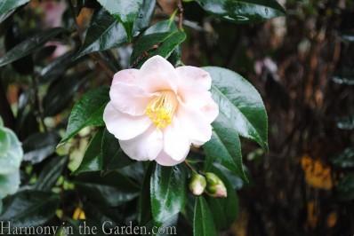 Camellia japonica Magnoliaeflora copy