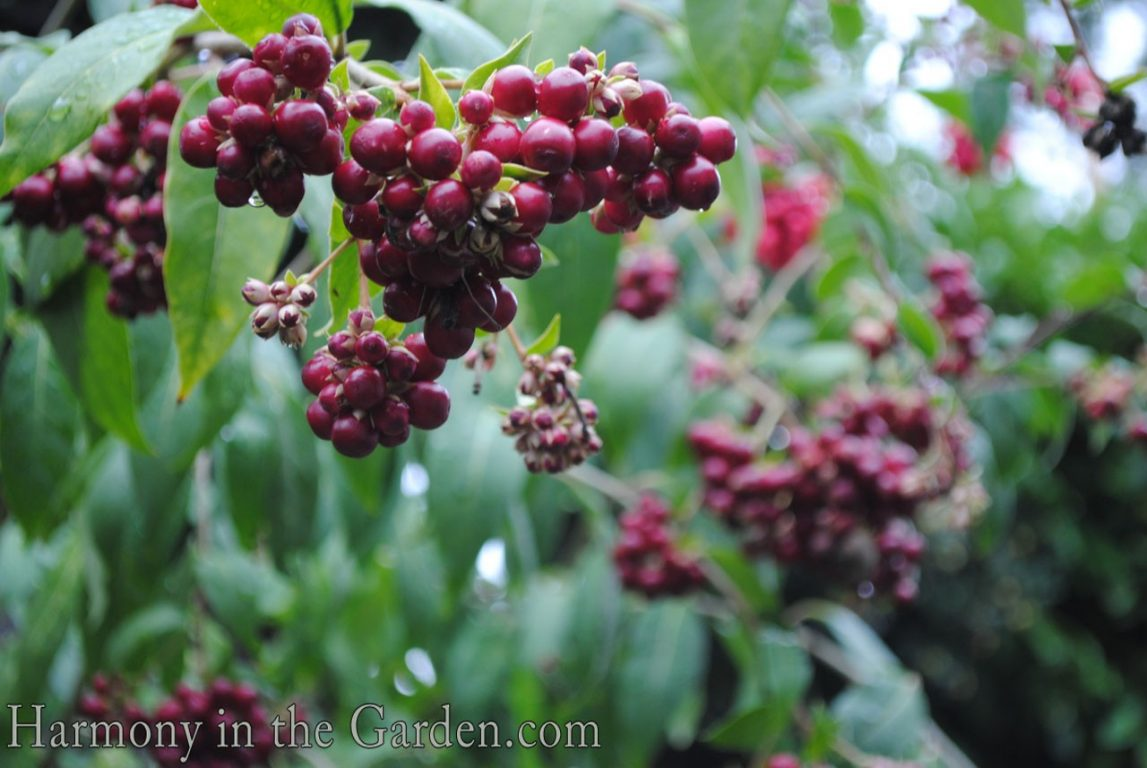 Cestrum berries