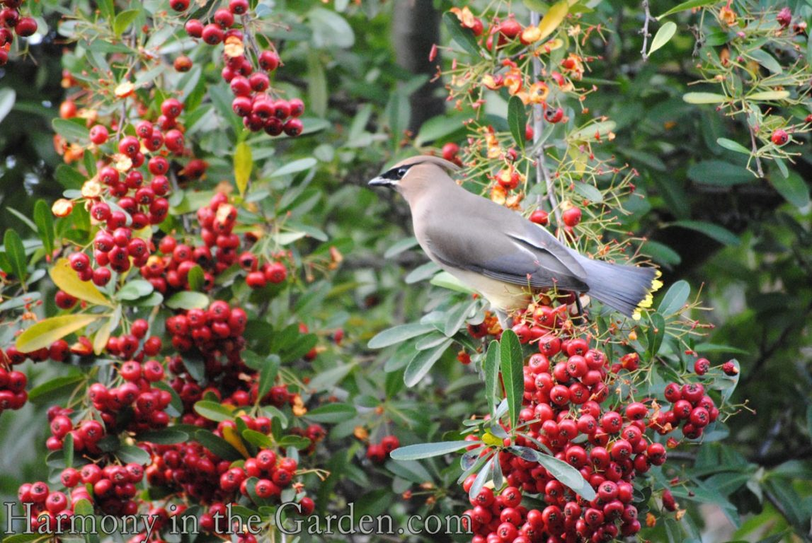 Pyracantha and waxwing