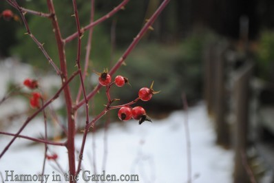 Wild currant berries