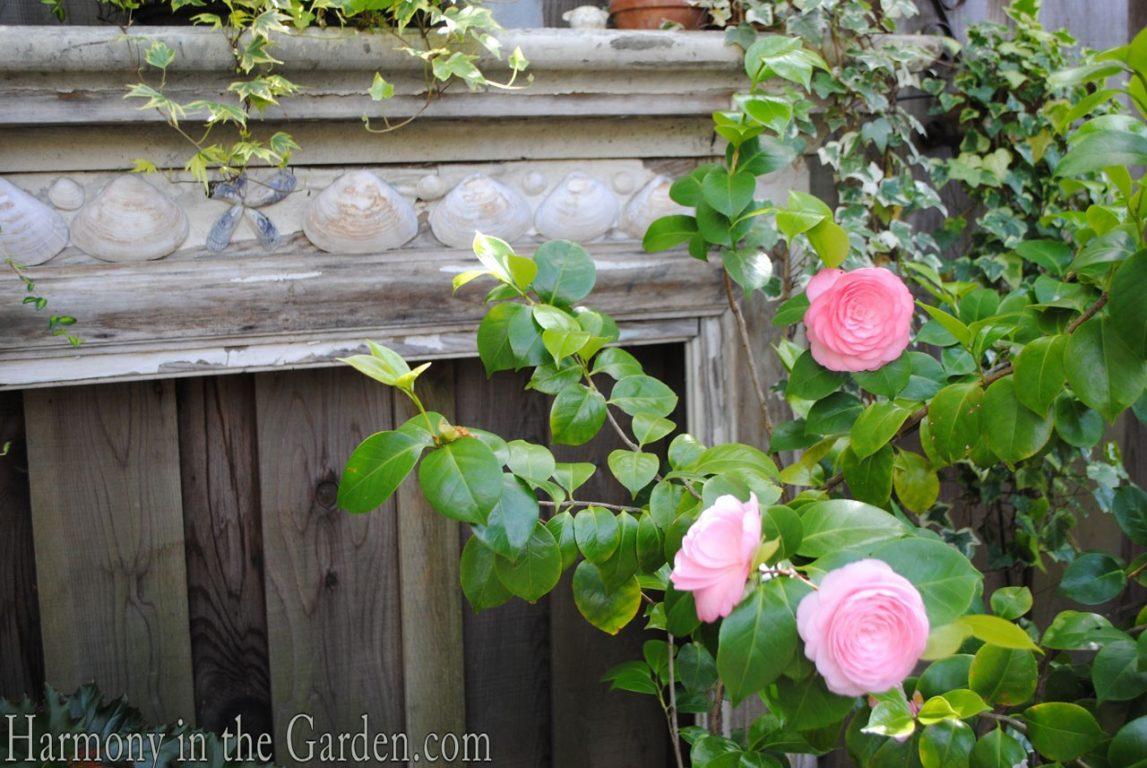 camellia j. 'Pearl Maxwell'