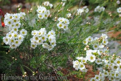 Chamelaucium 'Matilda'