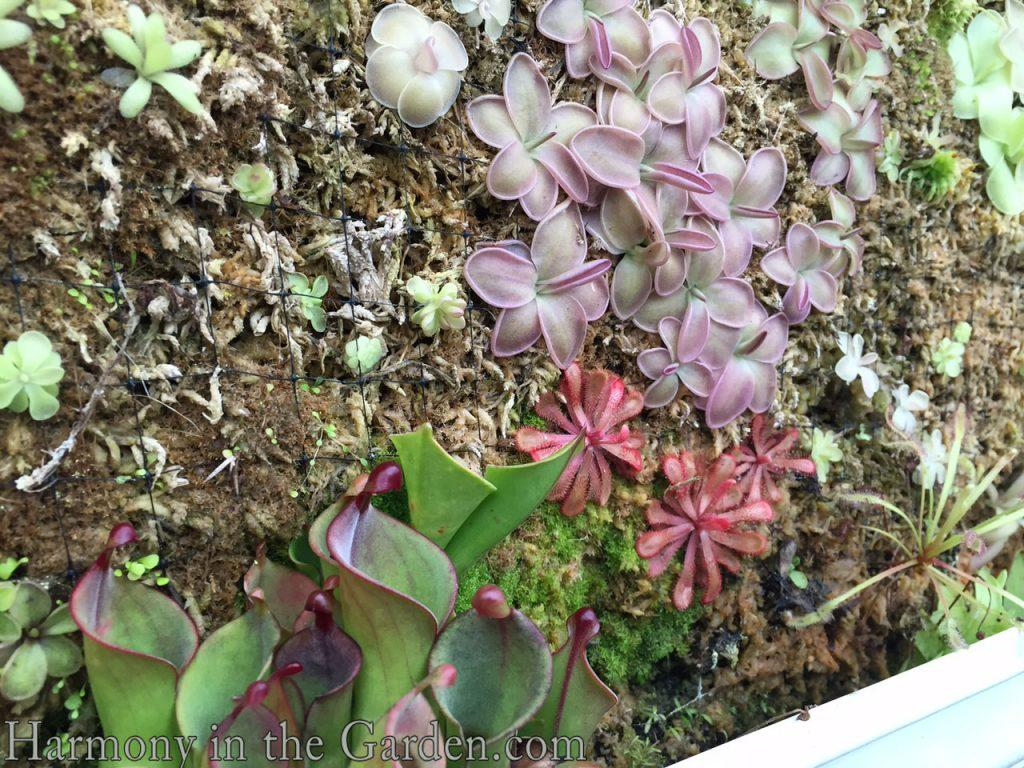 Butterworts and Sun Pitchers