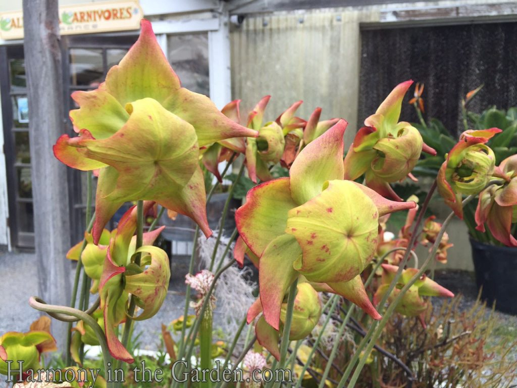 More Pitcher Plant flowers