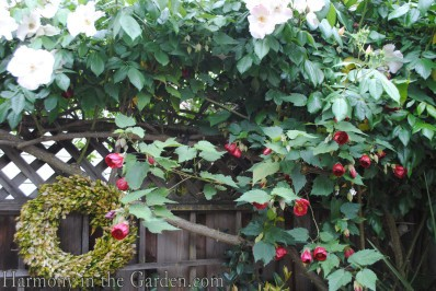 Abutilon 'Nabob' and 'Sally Holmes' rose
